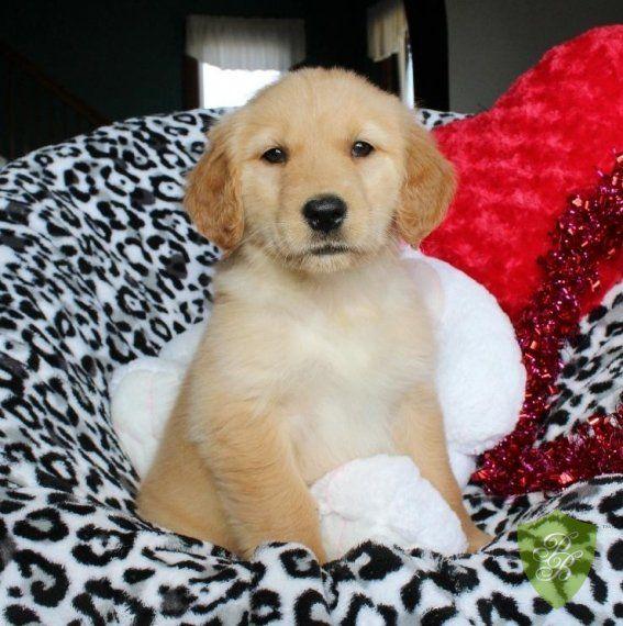 Puppies For Sale Missouri Golden Retriever Breeders Retriever