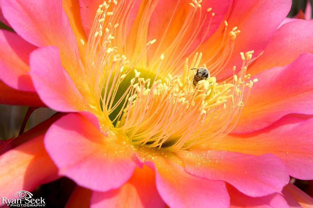 Week 44: Ryan Seek just won #picoftheweek44  DRUNK IN LUST: A pollen-faced #bee stumbles drunkenly from the lush confines of a vibrant #argentine #cactus #flower after a long bout of self-indulgence.   #photography #nature #pollen-facedbee #originalcontent   #Sebastion Thank you for Tsu! Awesome concept, fairness in life. :)