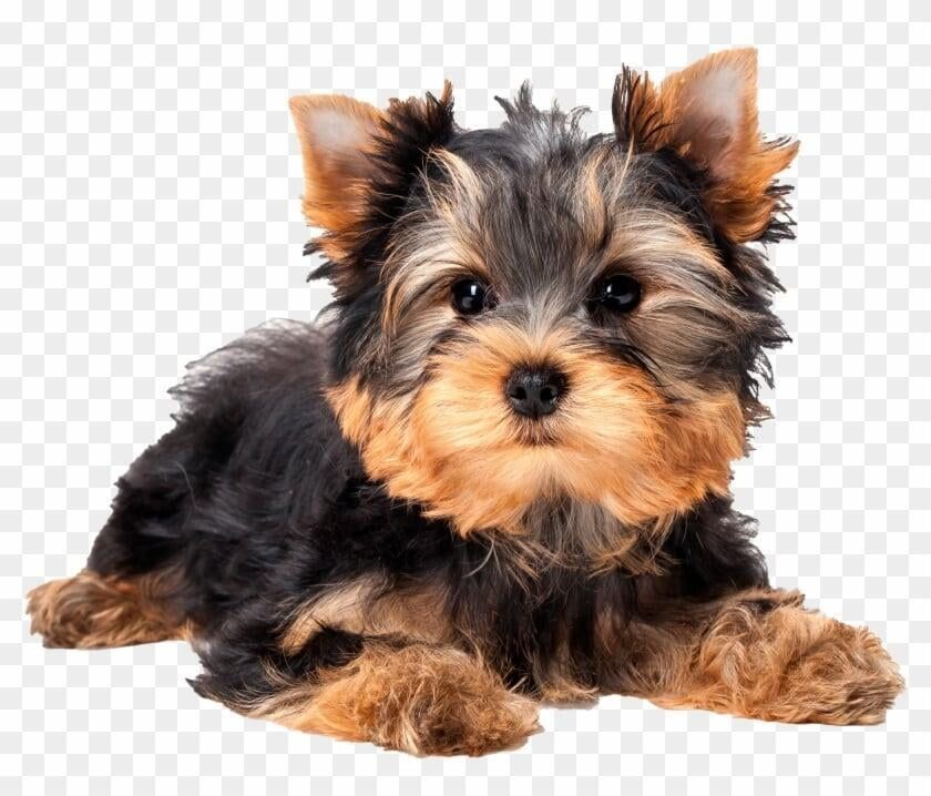 Teacup Yorkies For Sale In Usa In 2020 Yorkie Puppy For Sale Yorkies For Sale Yorkie