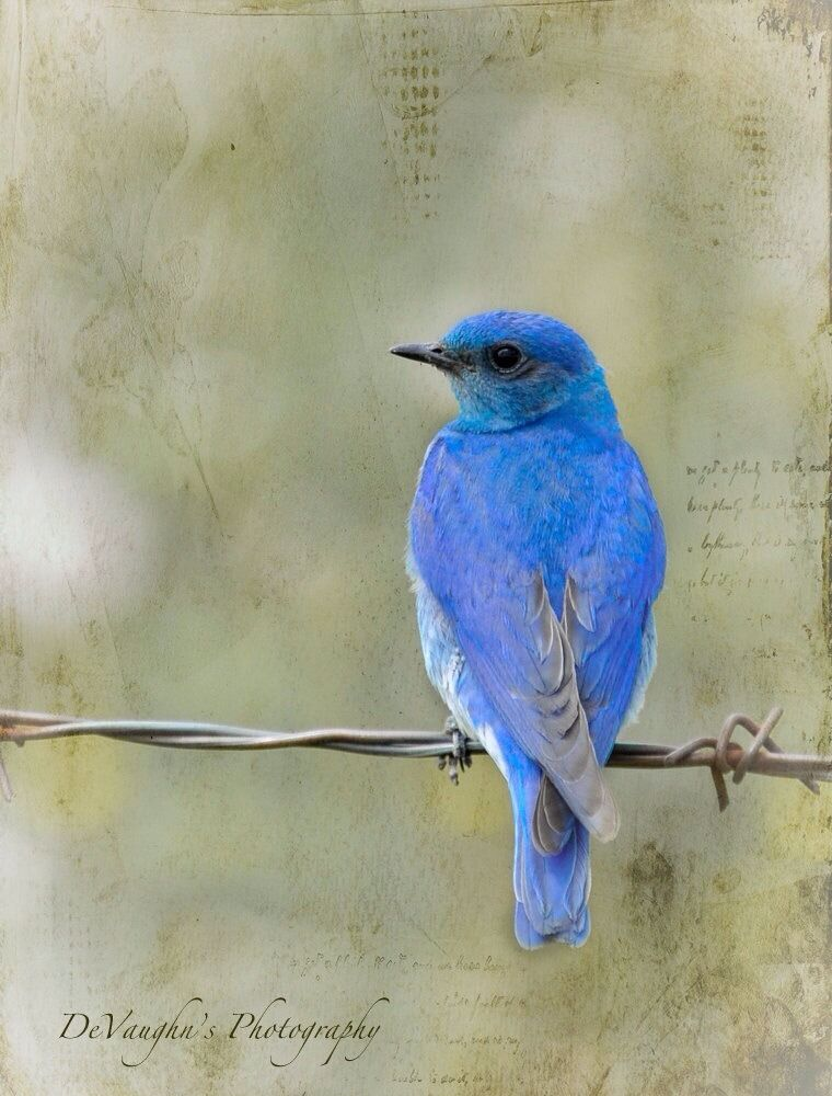 Mountain Bluebird Birds I Maya Angelou I Know Why The Caged