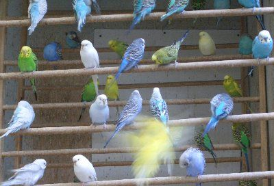 Parakeet behavior | Budgie love | Parakeet, Budgies, Birds