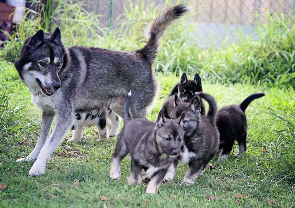 Shanté and her puppies (With images) Wolf dog, Agouti