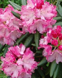 Rhododendron 'Brandi' from Southgate is heat & humidity tolerant, perfect for hot southern gardens, like Georgia (zone 7B). Part of the Southern Living Plant Collection.