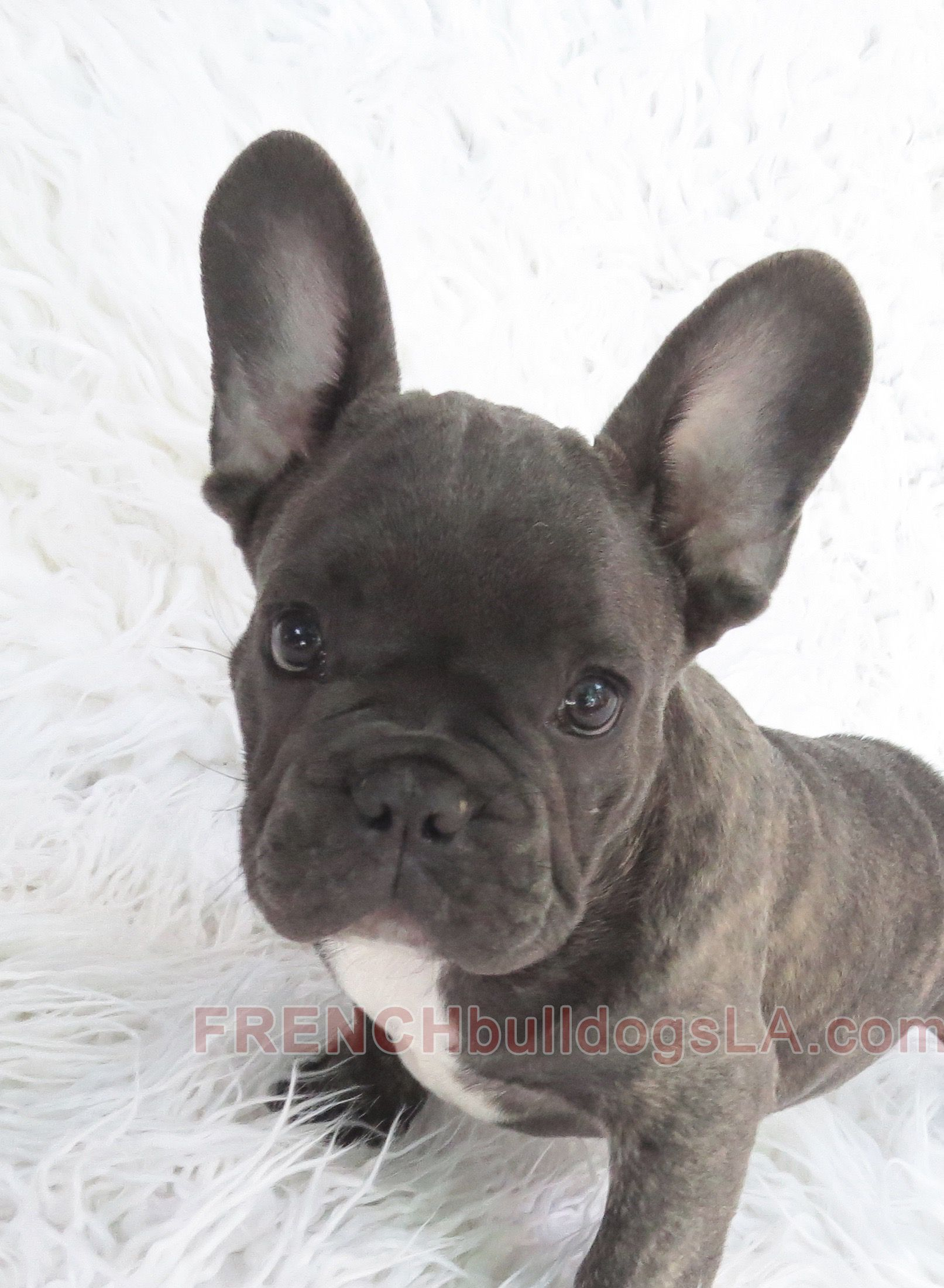 Blue French Bulldog Reverse Brindle Puppy 04 Brindle French