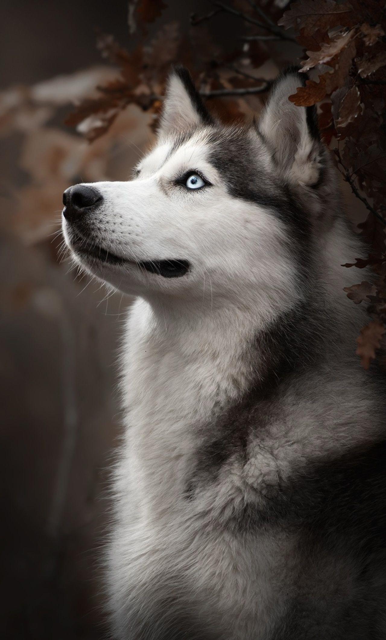 Pin By Rada Rada On Dog Pas Husky Dogs Siberian Husky Dog Cute Husky Puppies