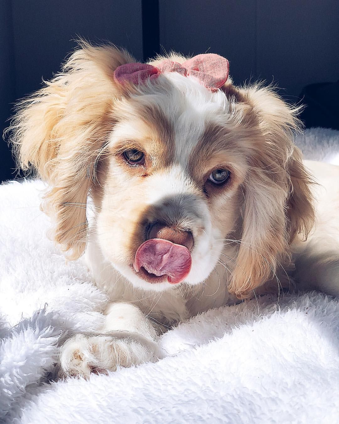 Coffee And More Coffee Please Cocker Spaniel Puppy Cute Cute Baby Animals Animals Beautiful Cute Animals