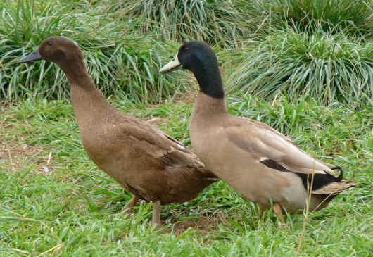 Khaki Campbell Duck Adults We Are Getting Some Of These And