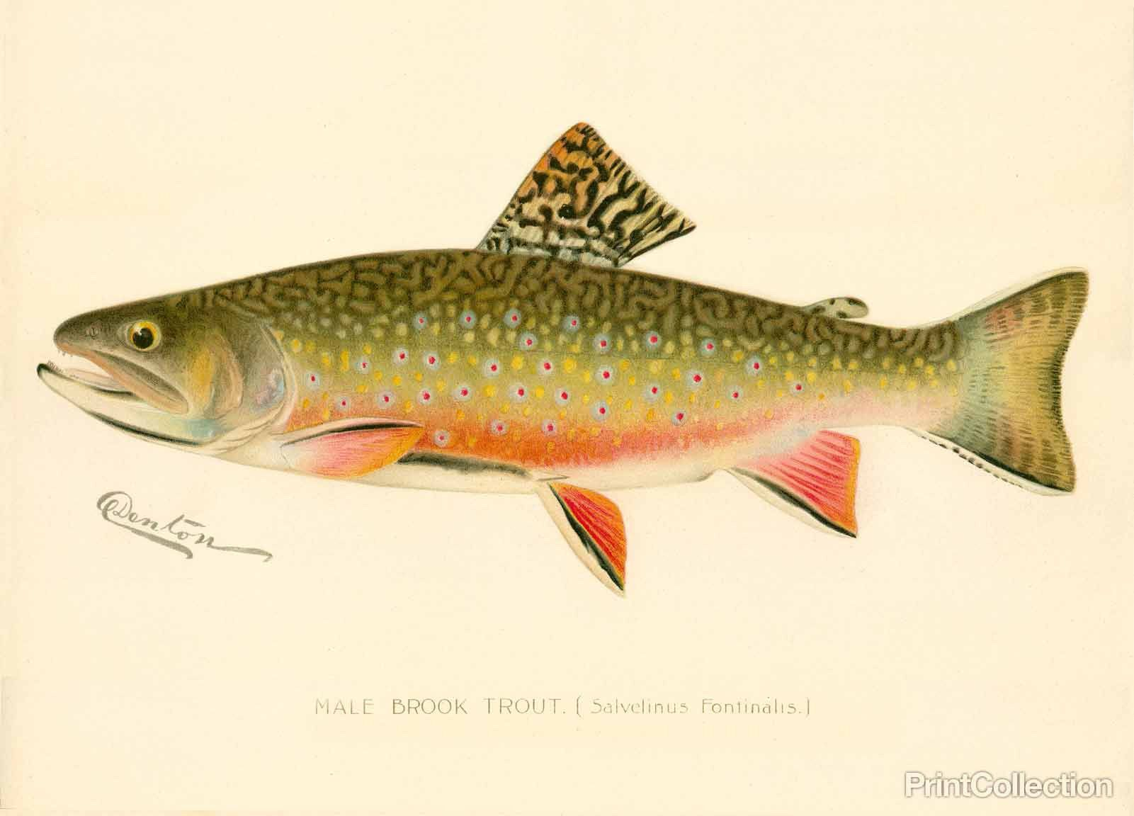 Male brook trout trout fish and drawings for Trout fish pictures
