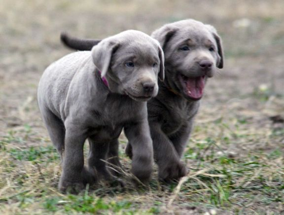 Labrador Puppies For Sale Silver Labs For Sale Dog Training Dog Boarding Seren In 2020 Labrador Puppies For Sale Labrador Retriever Labrador Retriever Training