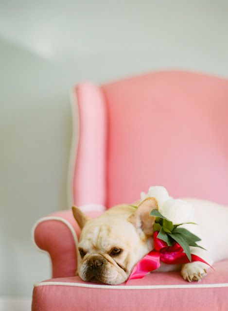 Frenchie on a fancy chair