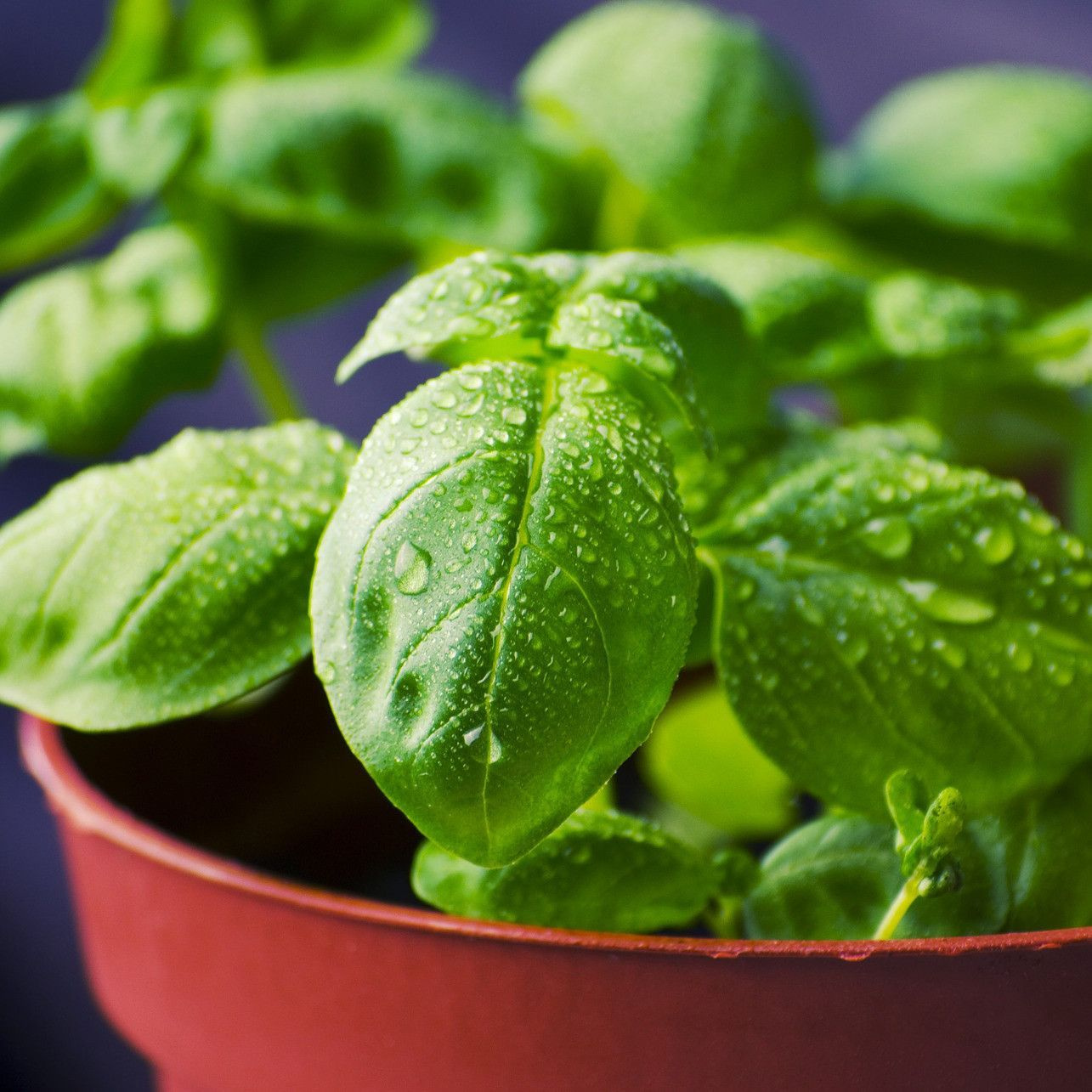 Basil Olive Oil #plantsthatrepelmosquitoes