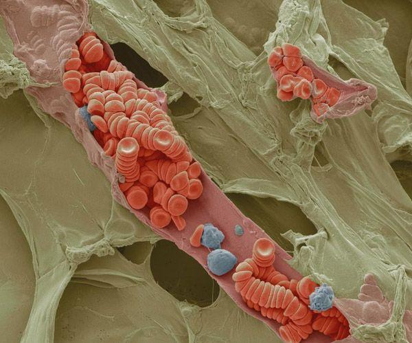 El interior de un pequeño vaso sanguíneo visto con #microscopio SEM. Imagen de Steve Gschmeissner