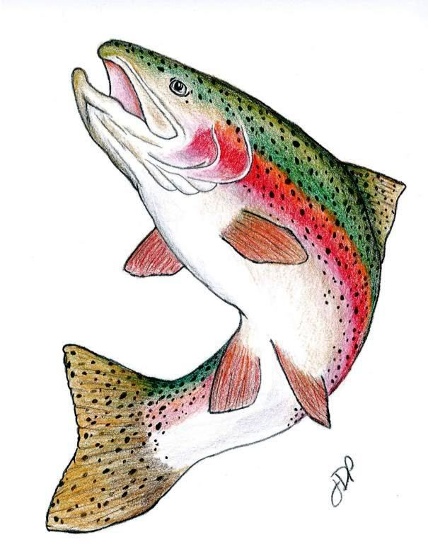 Rainbow trout drawing template currently a drawing of for How to fish for rainbow trout