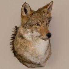 Coyote Head Trophy Mount Coyote Coyote Mounts Taxidermy