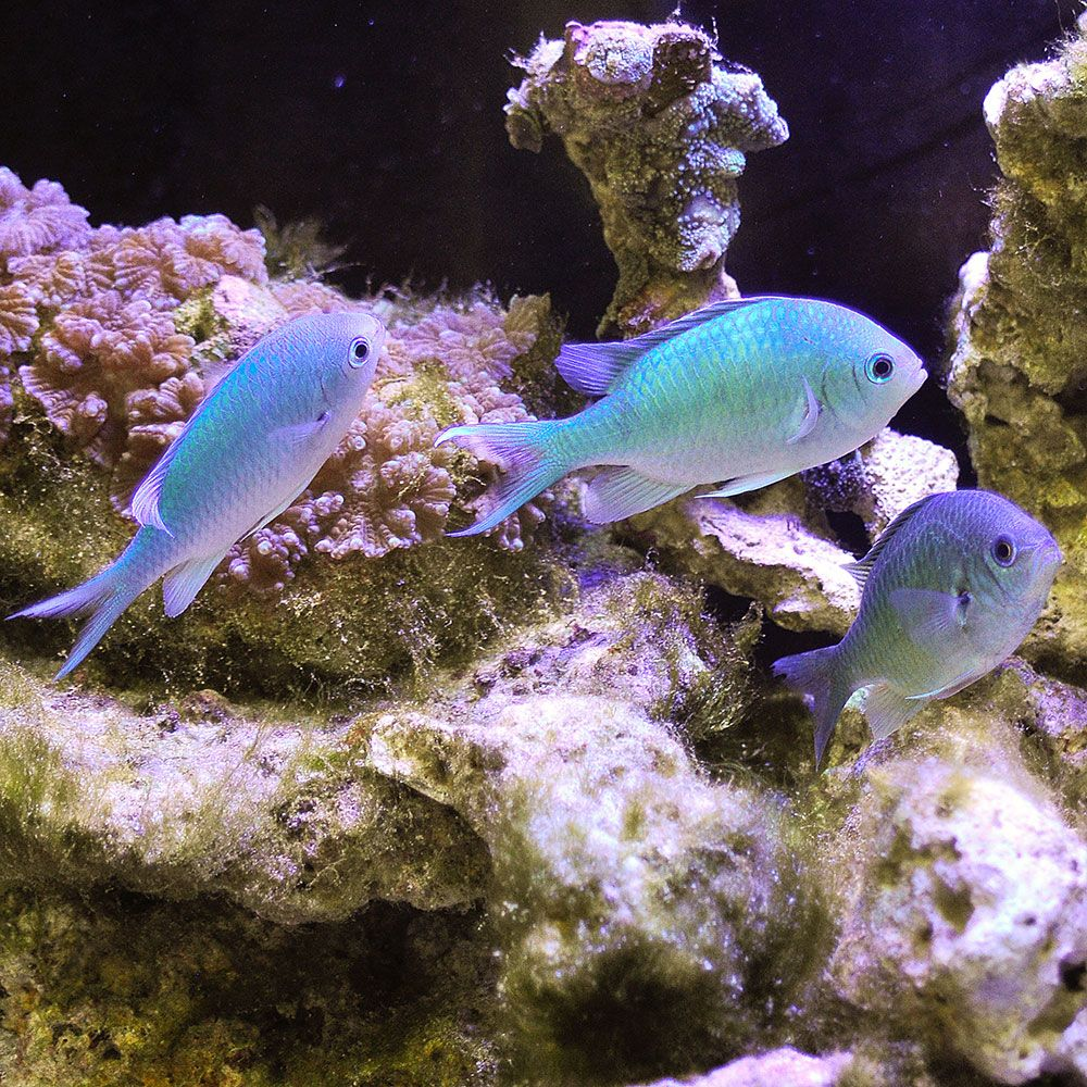 The Blue Green Reef Fish Is A Larger Cousin Of The C Viridis Blue Green Chromis And Is Distinguished By A Black Dot On The Axil Of Th Fish Fish Pet Fish