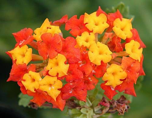 Photo Texas Lantana Lantana Horrida Close Up Of Flowers Lantana Plant Lantana Flowers
