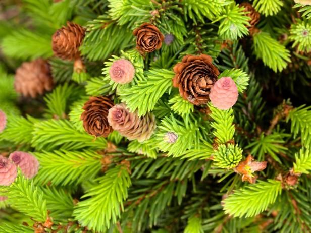 Picea abies  'Pusch' is a dwarf, slow-growing Norway Spruce that produces tiny, bright red cones in the spring that brown as they age. Perfect for rock gardens, 'Pusch' thrives in full sun or part shade.