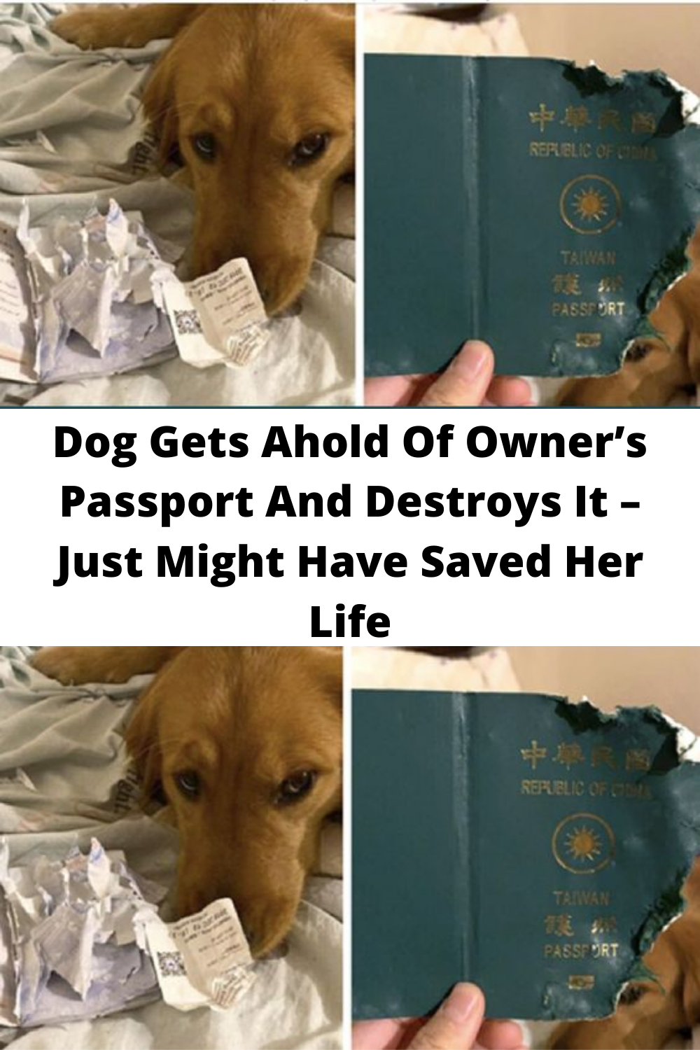 Dog Gets Ahold Of Owner S Passport And Destroys It Just Might