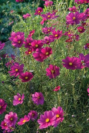 Cosmos Dazzler Cosmos Flowers Flowers Beautiful Flowers