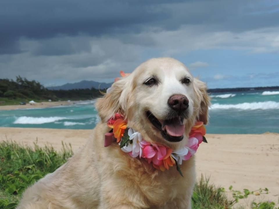 Borrow A Dog In Hawaii The Kauai Humane Society Has An Awesome Program For Dog Loving Tourists Visitors Can Bor Shelter Dogs Dog Friendly Stores Dog Friends