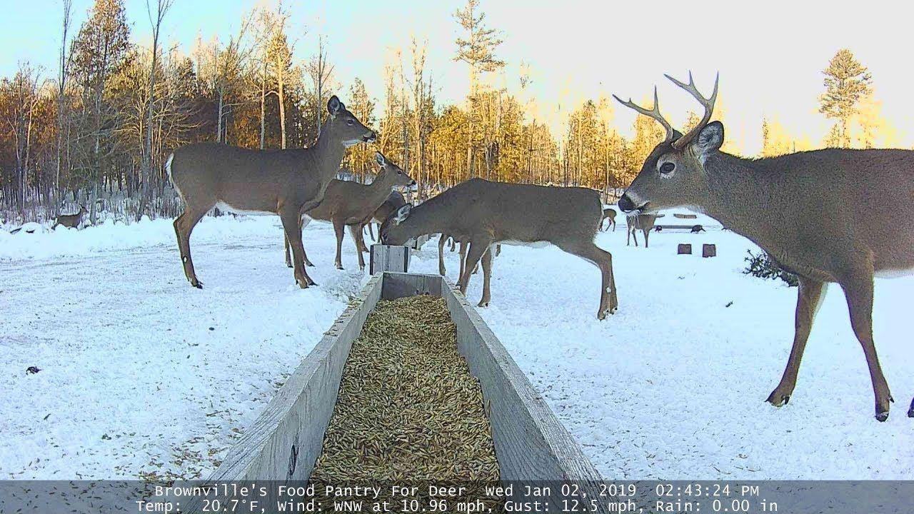 Brownvilles food pantry for deer feeder view baby deer