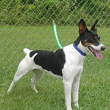 Eli Brown Rat Terrier Decker Scarlett Bing Images Rat Terriers