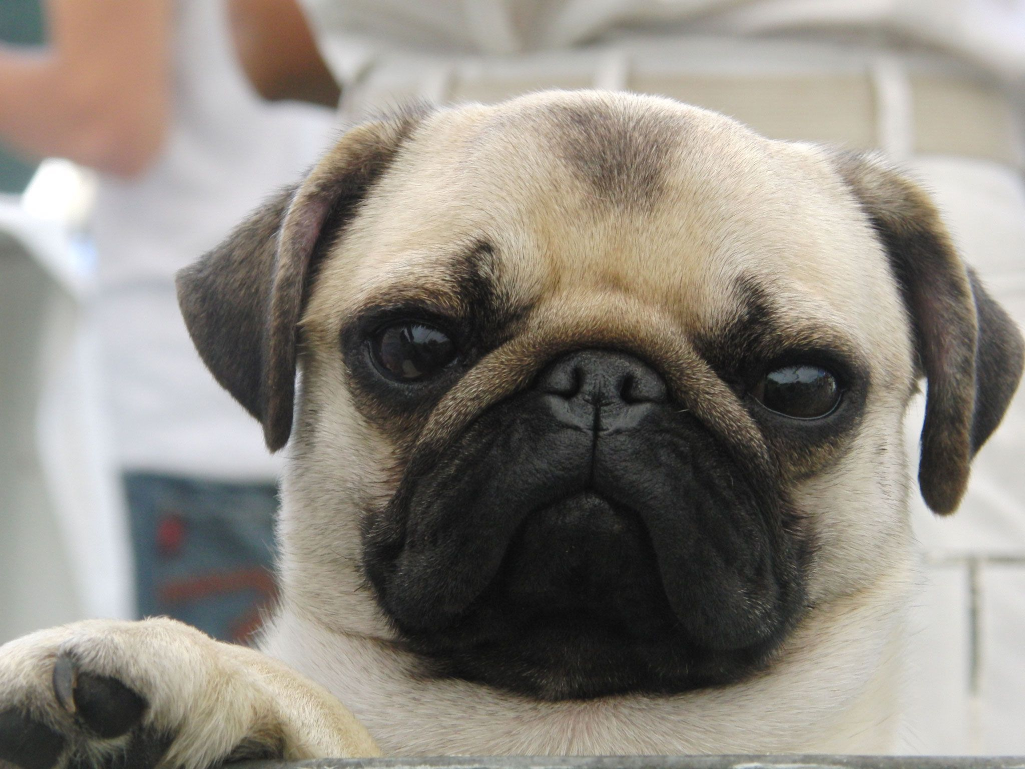 Cute Black Pug Wallpaper iPhone HD Animal Wallpaper for