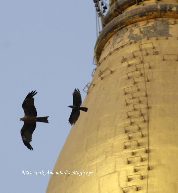 A crow chasing a kite against the Golden Pagoda in Gorai