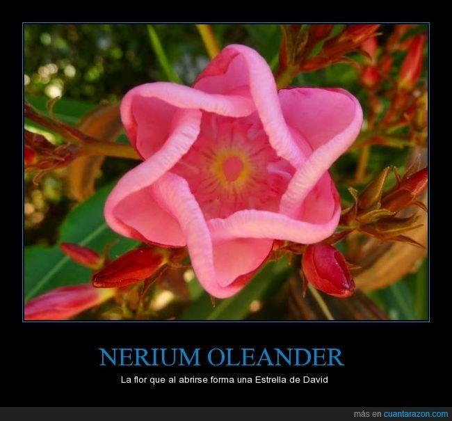 Nerium Oleander La Flor Que Al Abrirse Forma Una Estrella De David