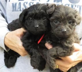 Adopted Texas Olivia Sophia Are Poodle Puppy Dogs In