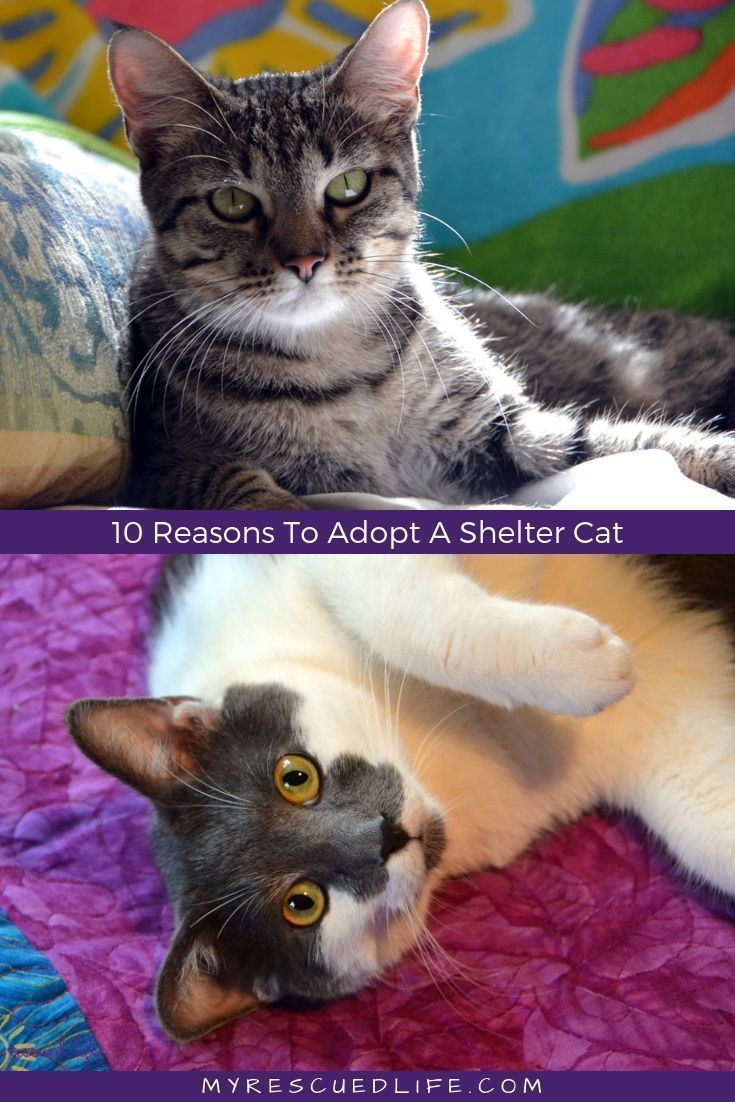 10 Reasons To Adopt A Shelter Cat Cat shelter, Cat