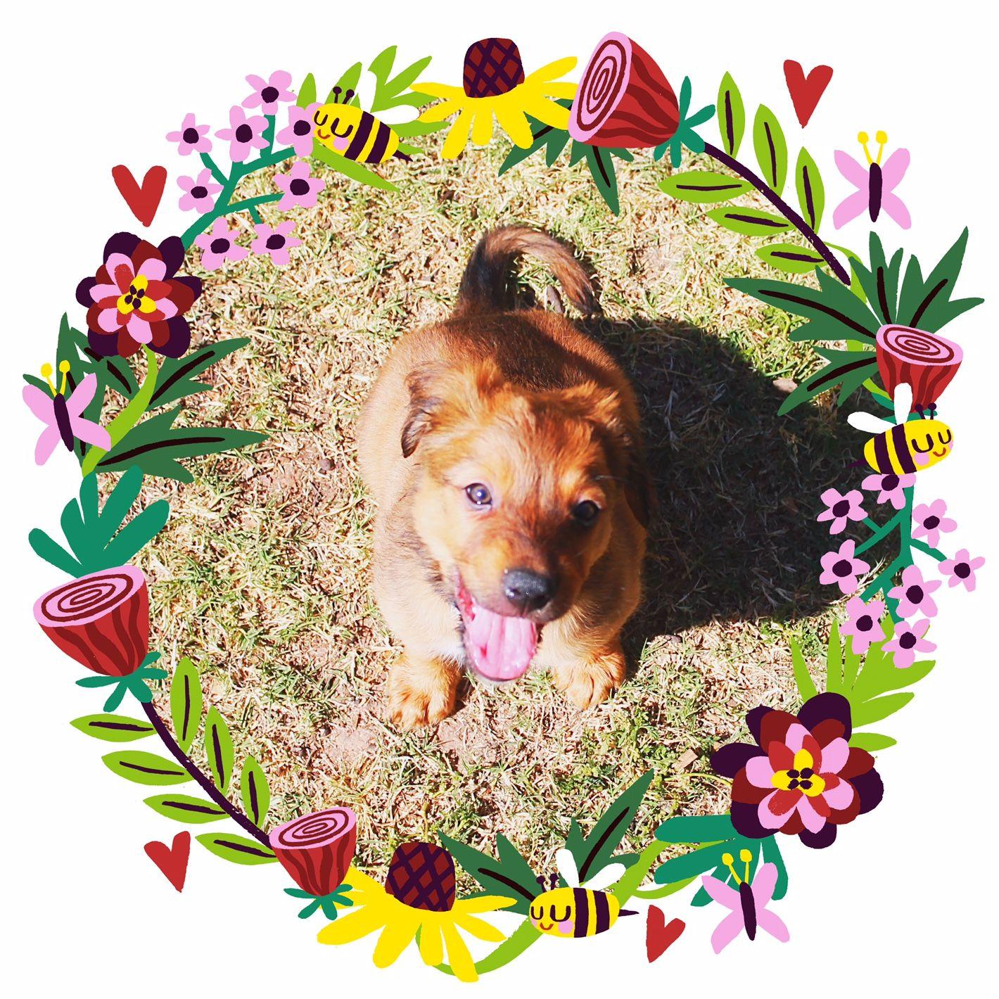 Australian Retriever dog for Adoption in Chandler, AZ. ADN