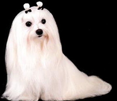 The Bichon Maltese Is Undoubtedly Ancient And Dogs Of Its Type