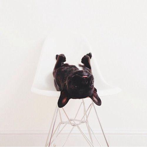 Cãozinho na cadeira Charles Eames! Muito amor em um foto só!