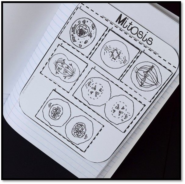 Mitosis science interactive notebook science notebooks cell theory fandeluxe Images