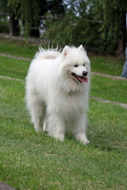 samoyed dog photo | Samoyed Dog Darmowe zdjęcie - Public Domain Pictures