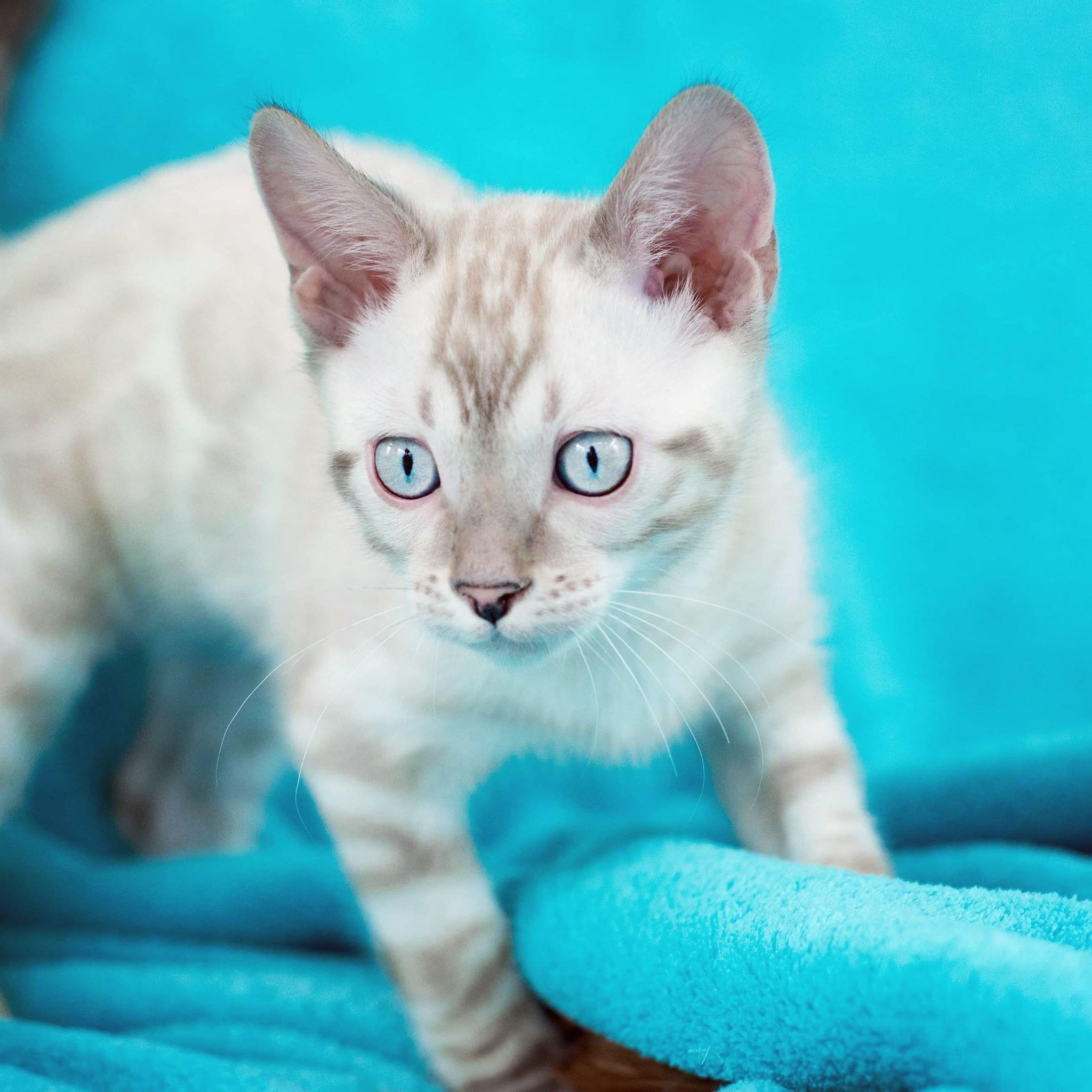 Bengal Kittens & Cats for Sale Near Me en 2020