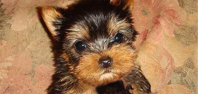 Yorkie Puppies Teacup Puppies For Sale Teacup Yorkshire Los Angeles Ca Perros
