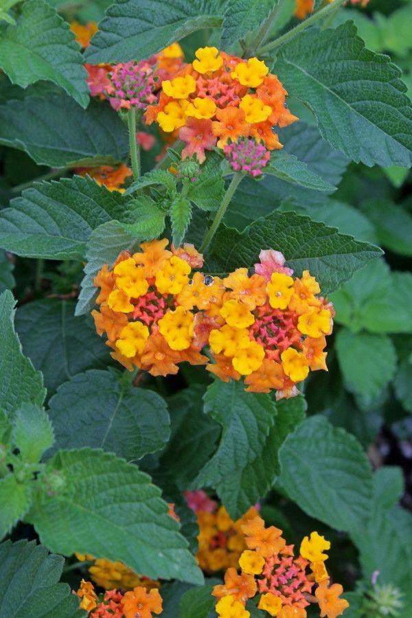 Lantana Camara Miss Huff Mehrjahrige Pflanzen Pflanzen Wandelroschen