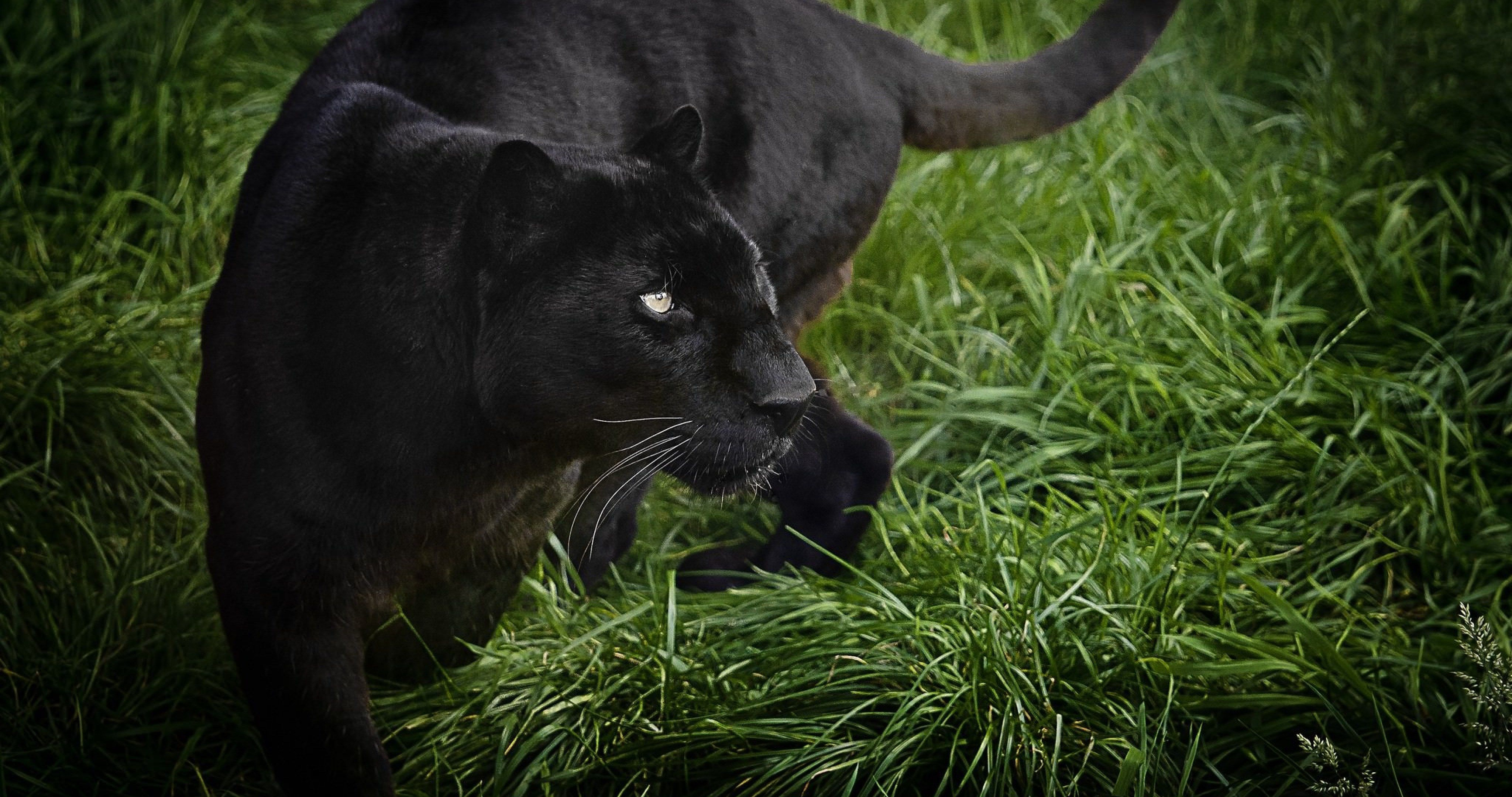 black panther 4k ultra hd wallpaper | Black panther hd ...