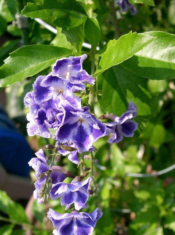 Ficha de la duranta repens | Cuidar de tus plantas es facilisimo.com