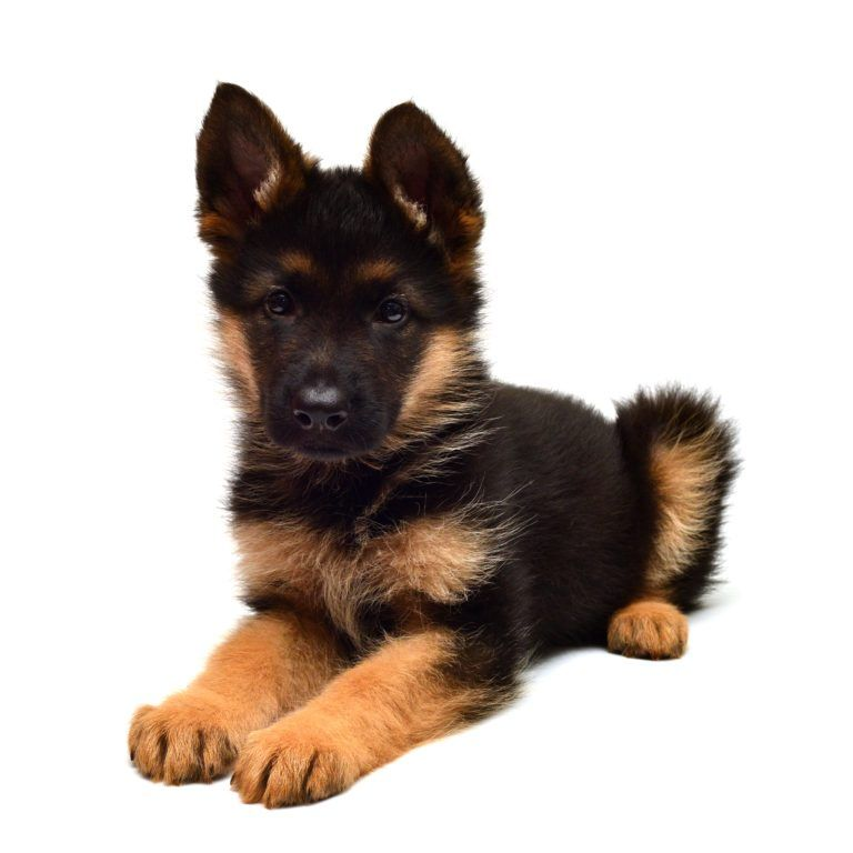 German Shepherd Puppy Is Waiting For Food German Shepherd