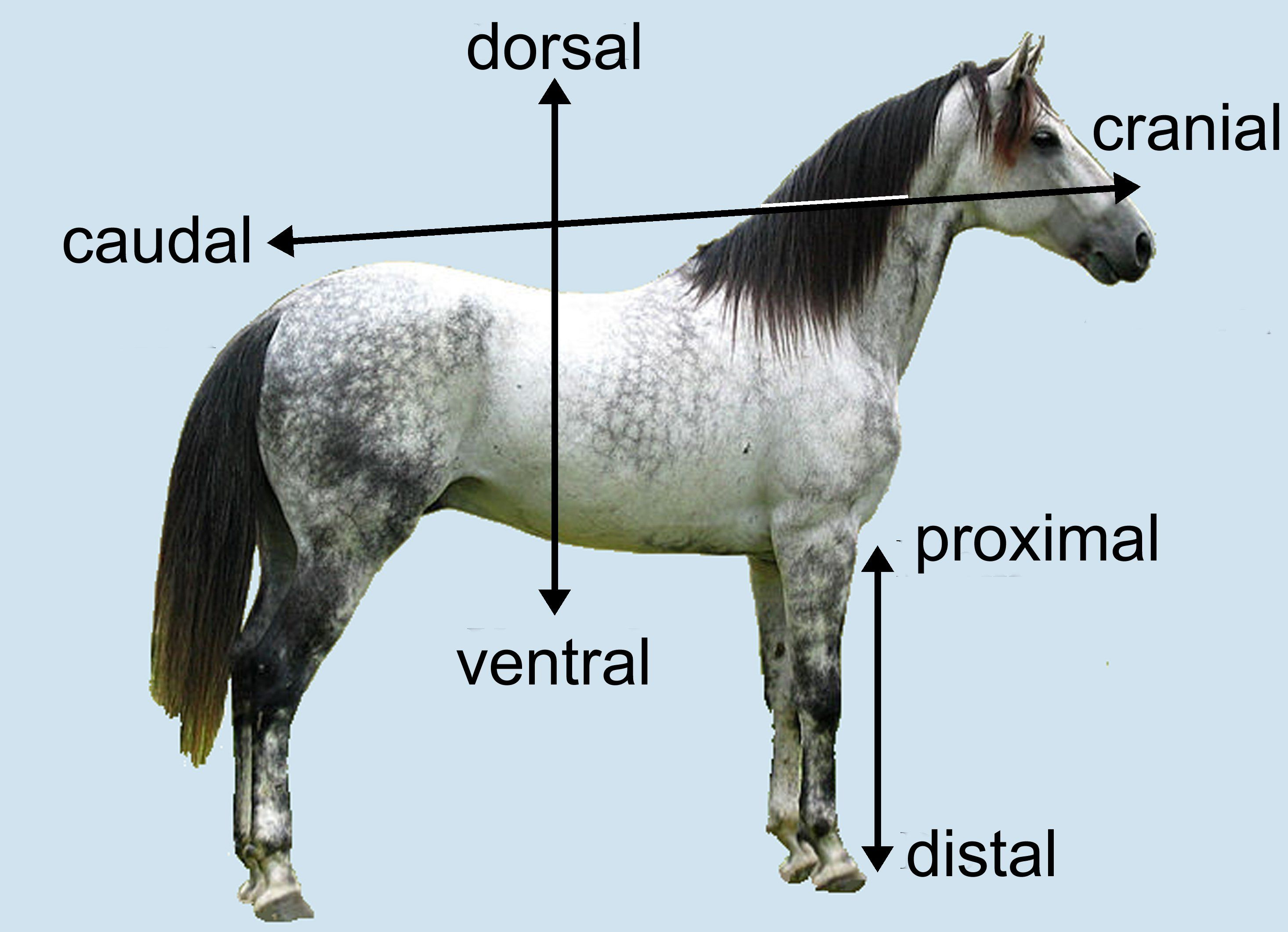 dorsal ventral anterior posterior diagram - Google Search ...