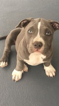Litter Of 5 American Bully Puppies For Sale In Englewood Co Adn 38872 On Puppyfinder Com Gender Female Age 12 Week American Bully Puppies For Sale Puppies