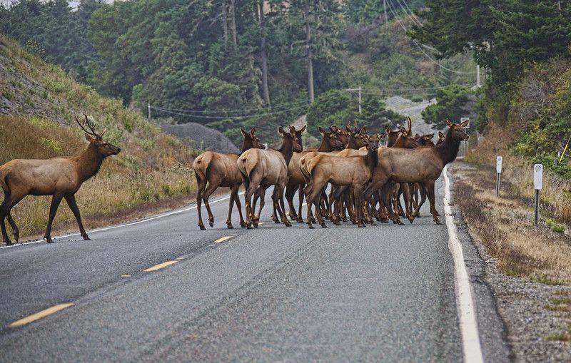 Traffic jam Montana style. If it isn't the elk it is the