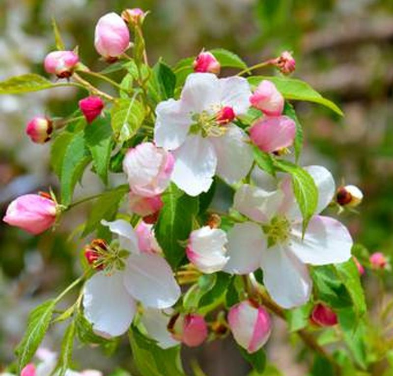A weeping crab apple tree is covered in pale pink to white