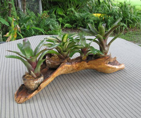 Cypress wood coconut planter w 3 easy care bromeliads for Easy care plants for pots