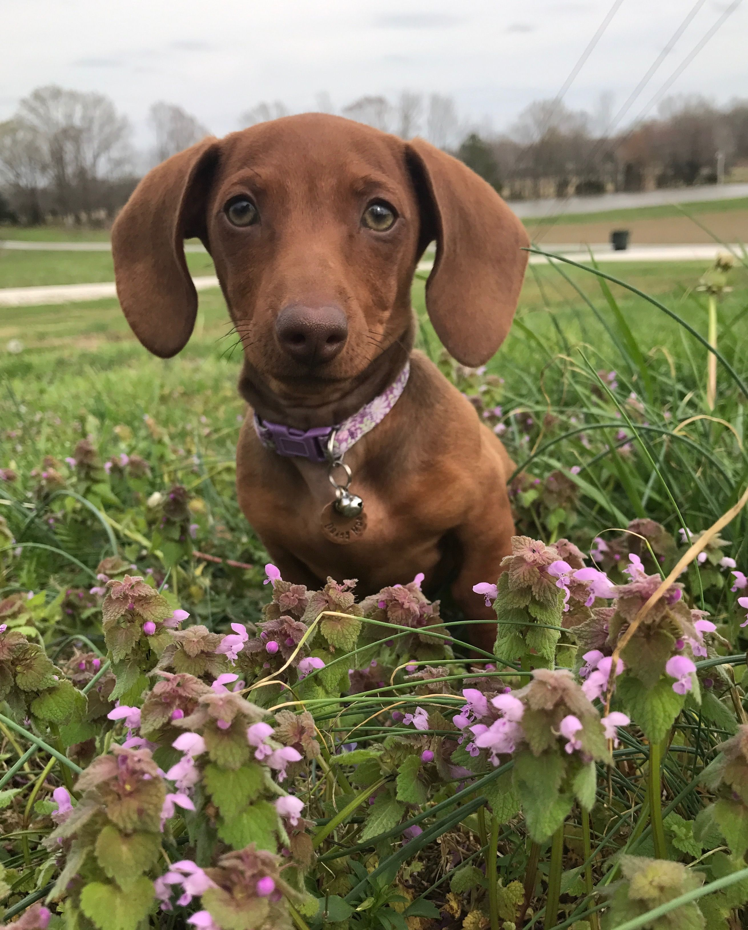 Daisy Mae 15 Weeks Old Dachshund Puppy Green Eyes Short Haired