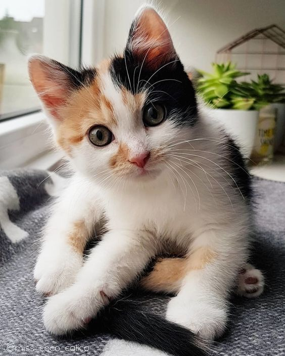 Cat Facts Why Are Calico Cats Almost Always Female  Cat Facts Why Are Calico Cats Almost Always Female