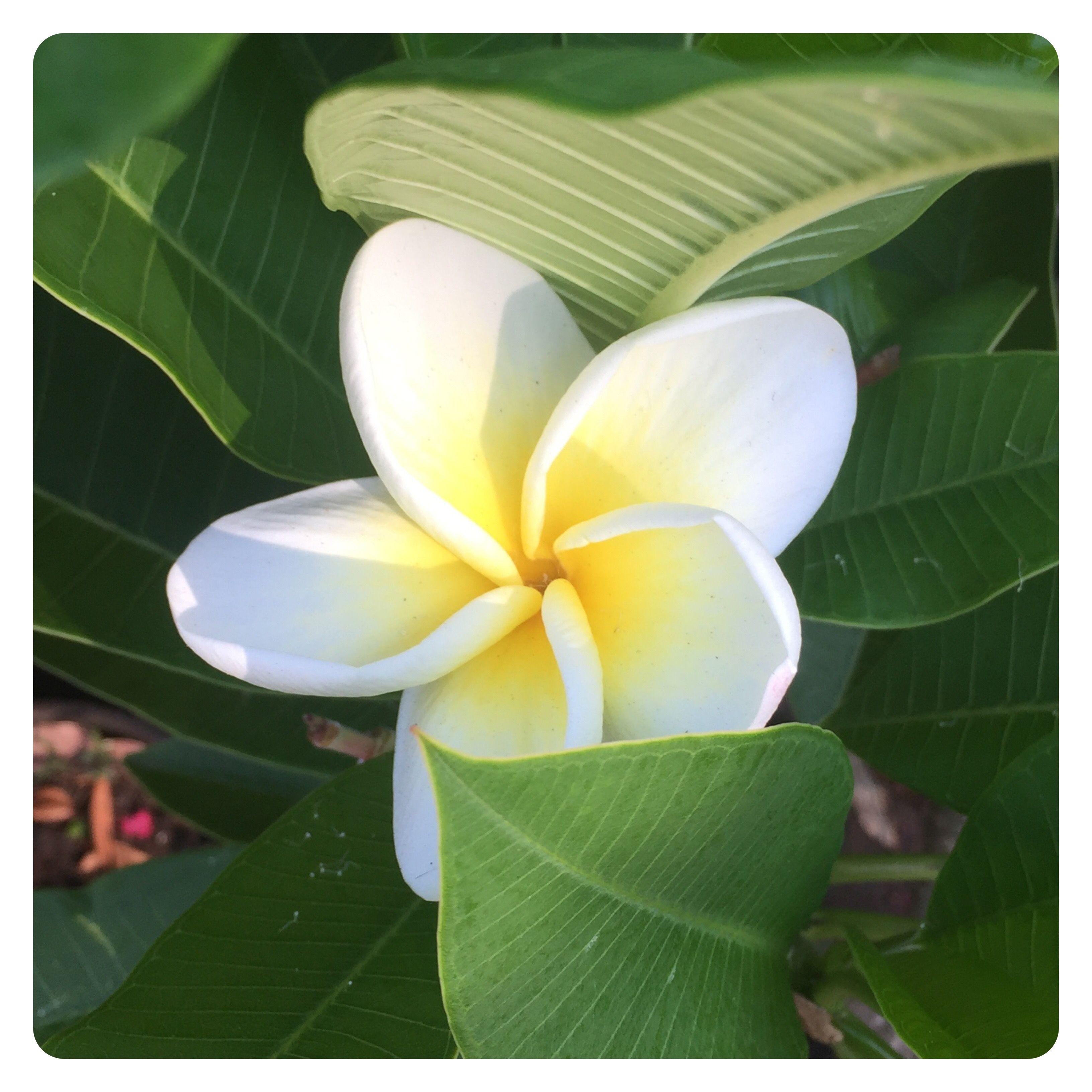 A frangipani in the sun! Frangipani, Plants, Garden